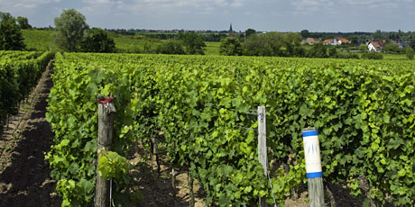 Vineyard site Elster Forst/Pfalz