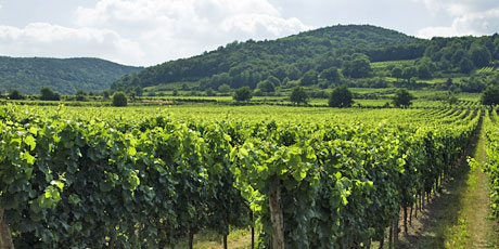Image result for deidesheim vineyard